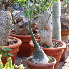 Адения сизая (Adenia glauca)