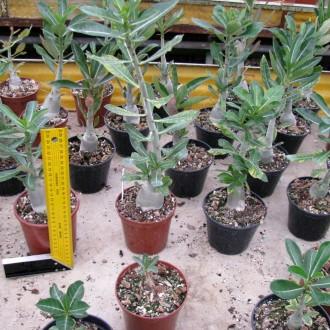 Адениум из семян 7 месяцев