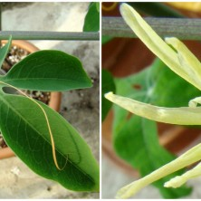 Адения (Adenia)