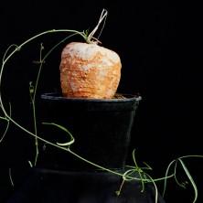 Адения кирки (Adenia kirkii)