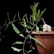 Адения репанда (Adenia repanda)