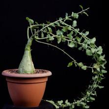 Редкие растения фото - Адения спиноза (Adenia spinosa)