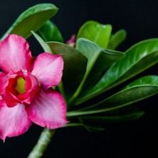 Адениум (Adenium Double Purple)