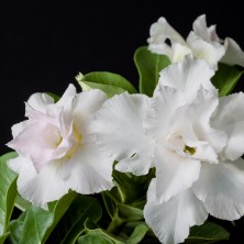 Адениум (Adenium Double blooming white)