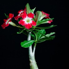 Адениум (Adenium Large Moonlight)