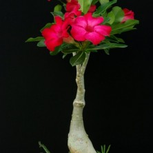 Адениум (Adenium Red Fairy)