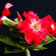 Адениум (Adenium Red Janzen)