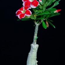 Адениум (Adenium Santa Claus)