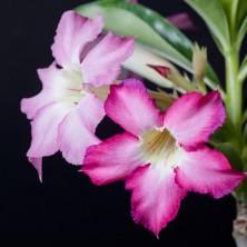 Адениум (Adenium Siam Violet)