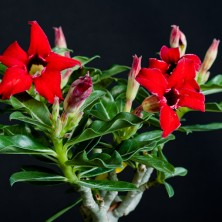 Адениум (Adenium Small Red Plum)