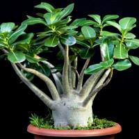 Adenium Thai Socotranum (2)