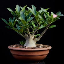 Адениум сокотранум (Adenium Thai Socotranum)