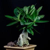 Adenium Thai arabicum 2 года