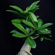 Адениум арабикум (Adenium Thai Arabicum)