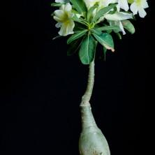 Адениум (Adenium Vanilla Ice)