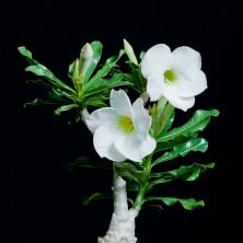 Адениум (Adenium White Pearl)
