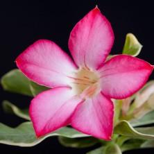 Адениум (Adenium White Variegata)