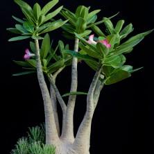 Адениум арабикум (Adenium arabicum)