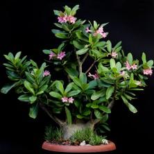 Адениум арабикум (Adenium arabicum Shada)