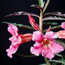 Адениум (Adenium hybrid)