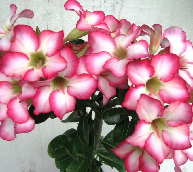 Буйное цветение подтверждает название этого вида