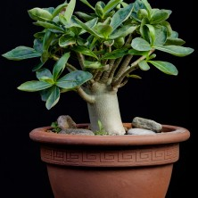 Адениум сокотранум (Adenium socotranum Golden Crown)
