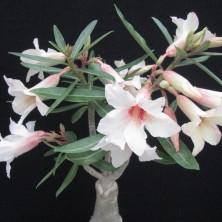 Адениум сомалийский (Adenium somalense)
