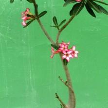 В начале цветения