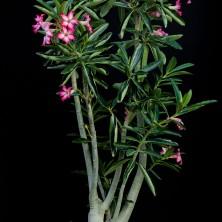 Адениум сомалензе (Adenium somalense)