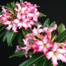 Шапки цветов Адениума