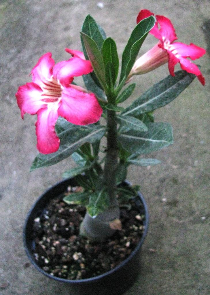 Адениумцветок выращивание 86