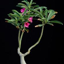 Адениум свазикум (Adenium swazicum)