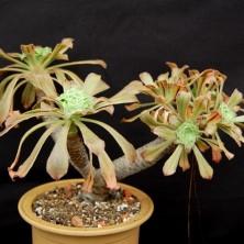 Эониум канарский (Aeonium canariensis)