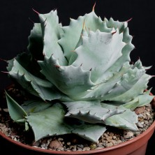 Агава фото (Agave potatorum hybr)