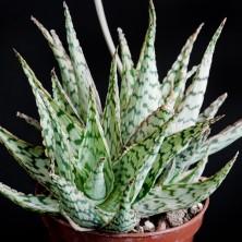 Культивар Алоэ (Aloe cv.'Wunderkind')
