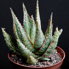 Культивар Алоэ (Aloe cv. 'Peppermint')