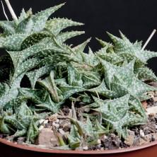 Алоэ дескоингси (Aloe descoingsii)