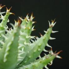 Алоэ эринацеа (Aloe erinacea)