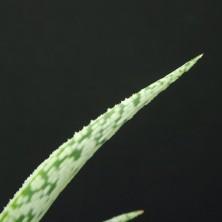 Культивар Алоэ (Aloe rauhii cv. 'Snow Flakes')