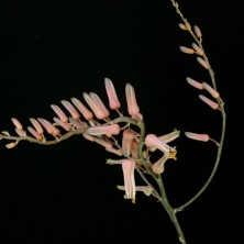 Алоэ сомалензе (Aloe somaliensis)