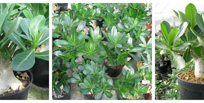 Адениум арабский (Adenium arabicum)