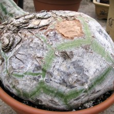 Баобаб (Bombax ellipticum)