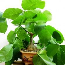 Растению на фото 5 лет