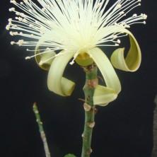 Цветок Бомбакса (Bombax ellipticum)