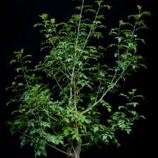 Бурсера фагароидес (Bursera fagaroides)