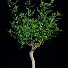 Бурсера филицифолия (Bursera filicifolia)