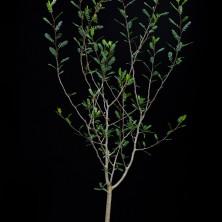 Бурсера микрофилла (Bursera microphylla)