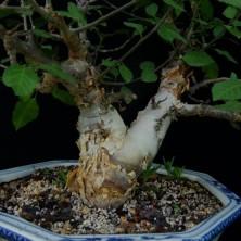 Бурсера симплицифолия (Bursera simplicifolia)