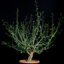 Коммифора дульцис (Commiphora dulcis)