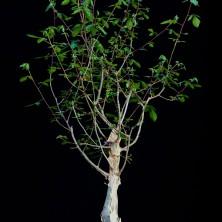 Коммифора рострата (Commiphora rostrata)